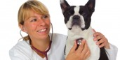 boston terrier veterinarian