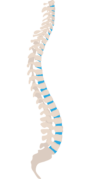 A picture of a spine illustrating the natural S-curve